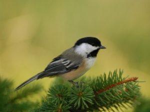 Птичка божия не знает (отрывок из поэмы «Цыганы»)